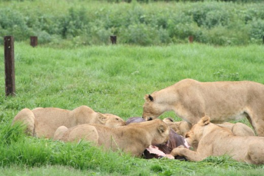 Lionesses feeding