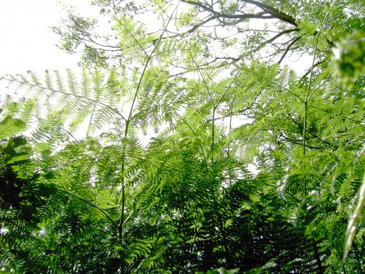 THE AIRY FRONDS OF BRACKEN ARE3-4 TIMES PINNATE.