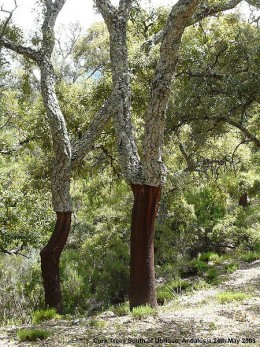 Cork oaks that have been harvested for their bark