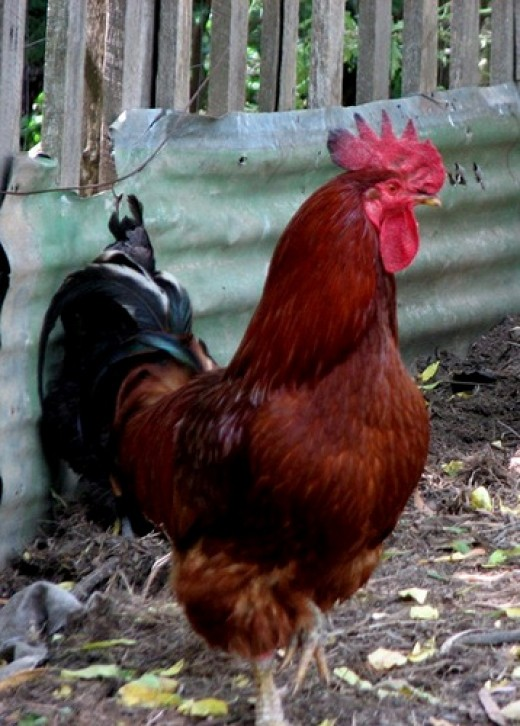 This rooster shows several classic characteristics: the large comb and wattles, upright stance, direct stare, long neck (hackle) feathers, lean look, and sickle-shaped tail feathers.