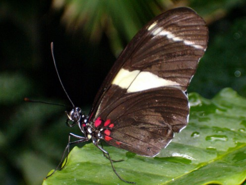 A Doris Longwing Butterfly resting on a leaf.