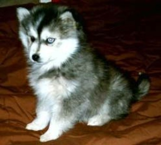 siberian husky puppies what you must know husky puppies for sale 520x468