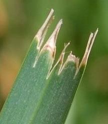 Grass cut by a dull blade