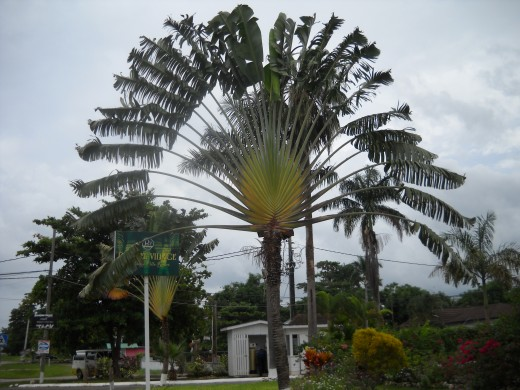 Unusual tree seen on a walk down Norman Manley Blvd. In Negril, Jamaica