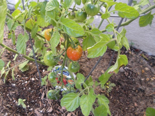 Tomatoes ripen to a beautiful red color at last