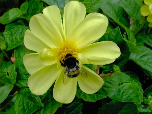 Bees are important pollinators.
