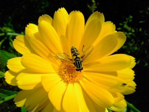 Hoverflies help to disperse the pollen