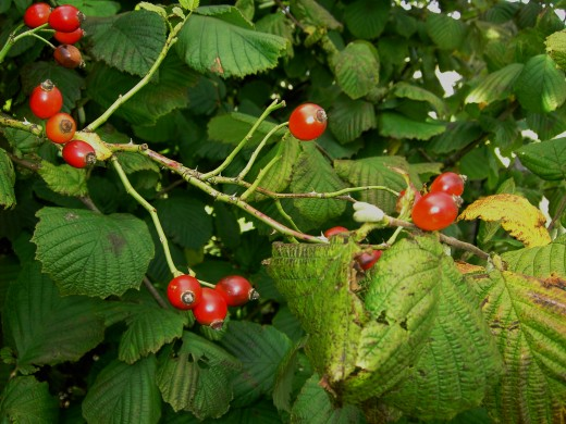 The fruit capsules {hip} of the wild rose