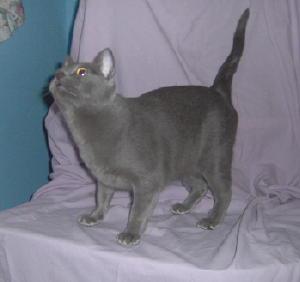 Minx Breed Cat