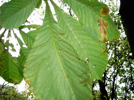 HORSE CHEST NUT MATURE FOLIAGE