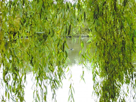 Foliage of the Weeping Willow
