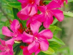 Oleander - A Poisonous Shrub