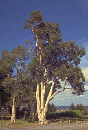 The Cajeput Tree