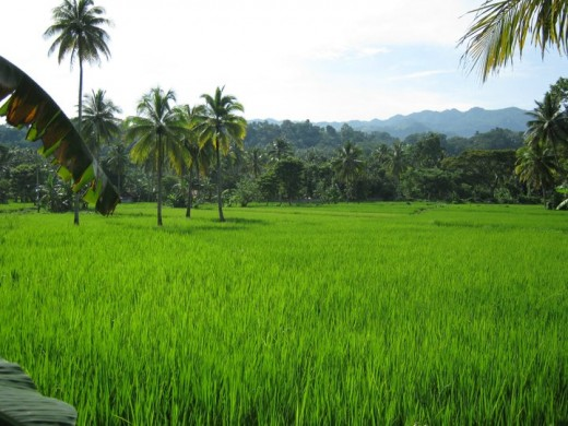 Coconut Trees in the middle of a rice farm in Bohol (Image credit: Glenn Escabusa)