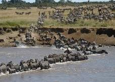 One of the greatest wonders of the world is the annual migration of animals between the Maasai Mara in Kenya and the Serengeti in Tanzania;wildebeests,zebras,and the predators; lions,leopards,and crocodiles of the mara river