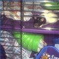 Pet rat in cage.