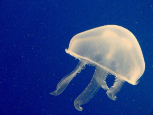 Transparent Jellyfish