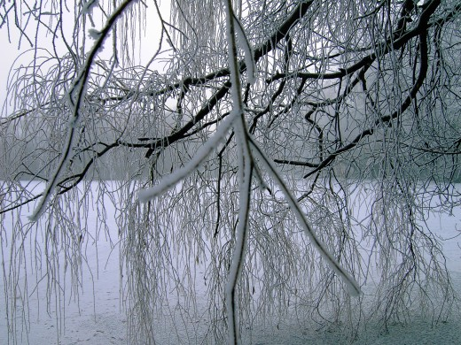 A weeping willow frost bound cascades down to a frozen lake