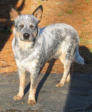 Full breed Australian Cattle Dog