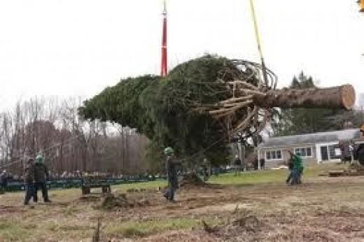 Beautiful ancient tree chopped down.
