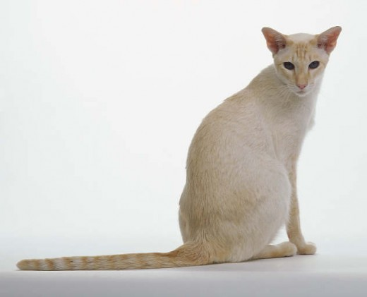 Red Poing Siamese Cat