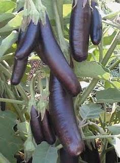 Violet egg plant