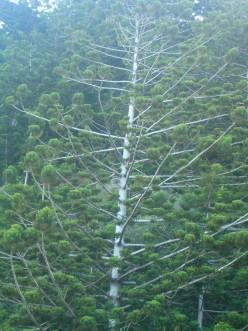 Strange Pines