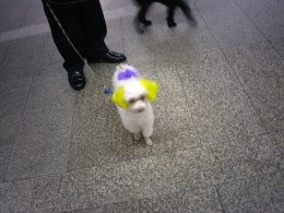 I met adorable dogs in South Korea, where it is fashionable to color the dog's ears in bright colors.