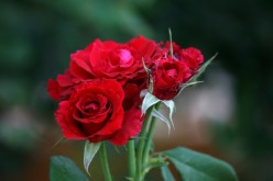 How Nature and Humans Care for Roses