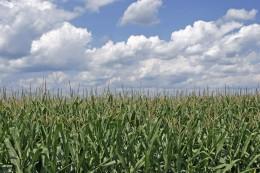 A corn field in Ohio