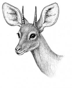 Beira Antelope