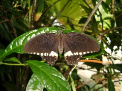 The Common Mormon Butterfly