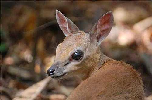 Suni Antelope