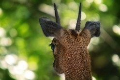 Klipspringer Antelope