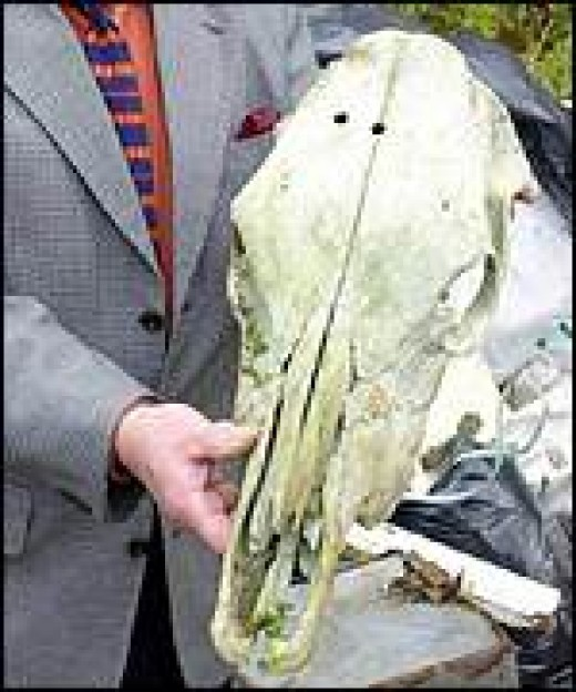 Skull earlier believed to be of Shergar's