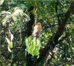 Long-tailed macaque feasting on Petai.
