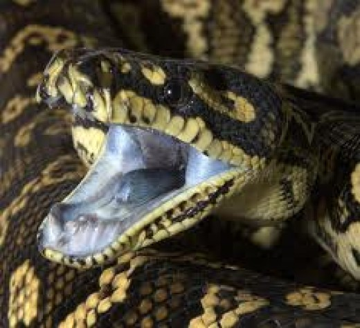 Dog Biting Rugs: Do Jungle Carpet Pythons Bite