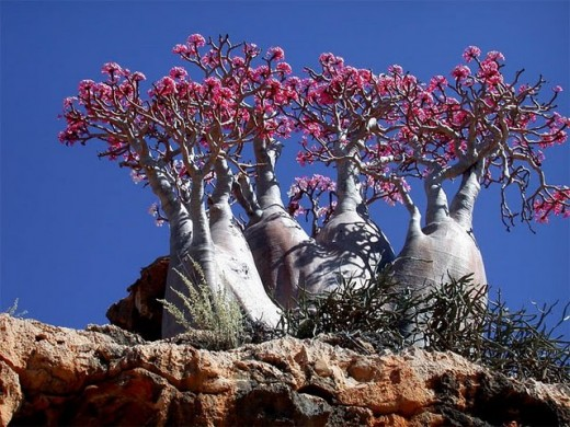 Giant Desert Rose of Socotra (Adenium socotranum) - Endemic Rose in Socotra Island