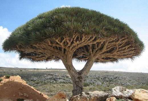 Dragon Blood Tree, endemic tree species (Dracaena cinnabari) Socotra Island