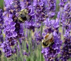 Lavender For Headaches