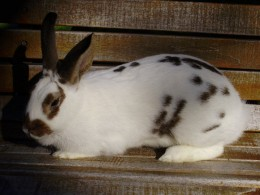 Great Rabbits make great show rabbits