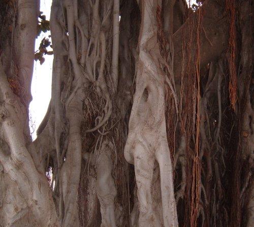 Moreton Bay Fig in Icod de los Vinos