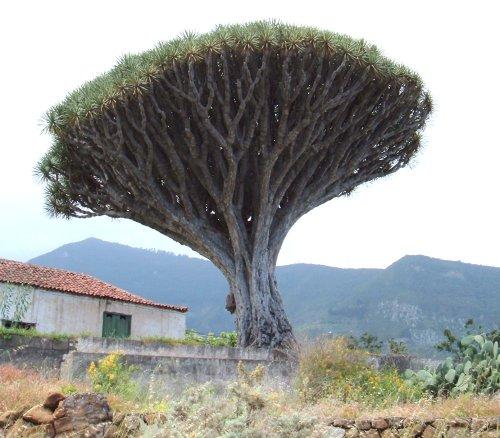 Dragon Tree in Los Realejos