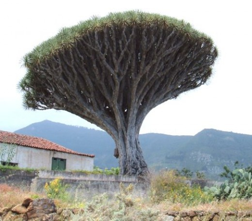 Dragon Tree in Los Realejos