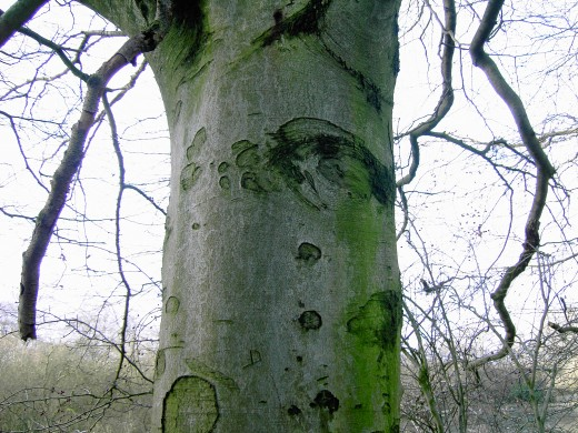 The Beech has pale bark
