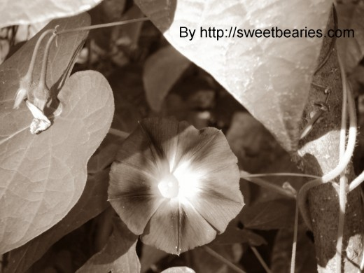 Sepia imagery that I created of a morning glory.