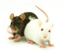 Saccharin caused cancer in rat models.