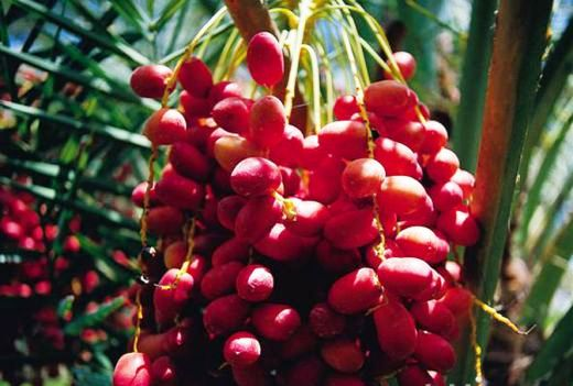 Ripe Red Dates on palm tree, ready for harvest