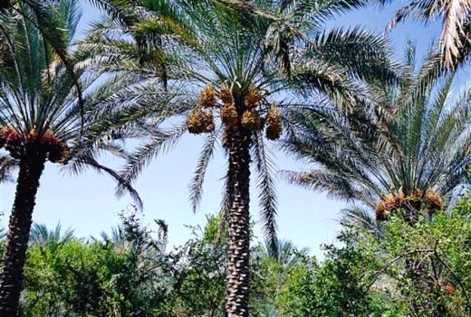 Date Palm Trees waiting to be harvested