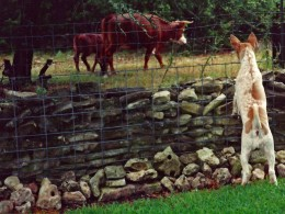 Open cattle grazing outside the fenced yards...